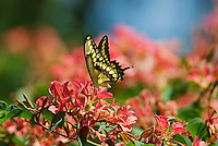 Giant Swallowtail Butterfly (Papilio cresphontes) nectars..