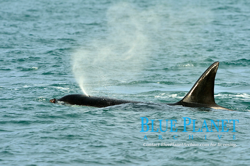 killer whale or orca, Orcinus orca, attacking South American sea lion, Otaria flavescens, Peninsula Valdes, Patagonia, Argentina, South Atlantic Ocean