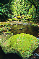 Bush scene with creek in Kaimai-Mamaku Forest Park near Rotorua - Central Plateau, New Zealand