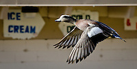 Action photograph of a Mallard duck in flight.