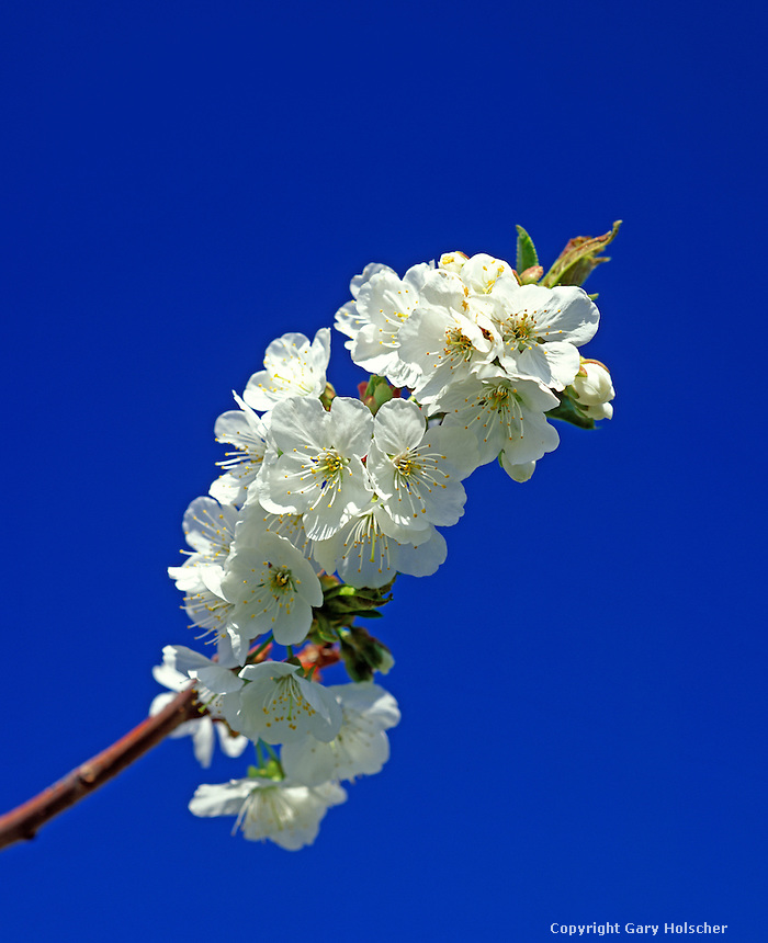 Cherry blossoms with blue sky.  WA