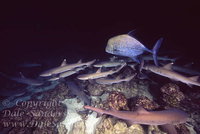 White Tip Reef Sharks ( Triaenodon obesus ) and a Black Jack hunting at night, underwater off Cocos Island, Costa Rica.