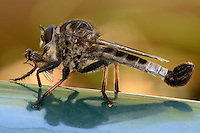 """'Promachus' is Latin for """"fighter in the front ranks"""", an apt term for this pugnacious genus of very large robber flies."""