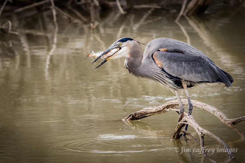 A great blue heron catching a fish at New Mexico's Bosque del Apache National Wildlife Refuge