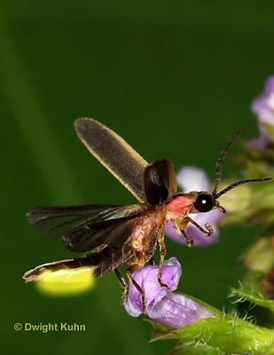 1C24-769p  Pyralis Firefly - Lightning Bug - flying from flower - four wings - Male - Photinus spp.