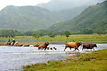 Rochelle Wood and Malisa Levenson herding cattle to new pasture on the Pasagshak River/Ranch at Kodiak Island, Alaska