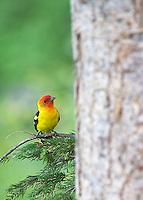 Few birds in Yellowstone are as colorful as the Western Tanager.