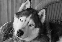 Siberian Husky Lakota Sunrise aka Koty Bear. Koty was named for his father Lakota Braveheart and his Mother Tequila Sunrise. He was my beloved companion for over 13 years. He was as beautiful on the inside as he was on the outside. He will live forever in my heart.<br />