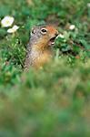 Columbian Ground Squirrel (Spermophilus columbianus), Banff NP, Alberta, Canada