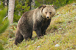 A female grizzly, nicknamed Blondie, in the northern part of Grand Teton National Park, Wyoming.