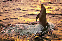Common Bottlenose Dolphin or Bottle-nosed Dolphin (Tursiops truncatus) playing at sunset.