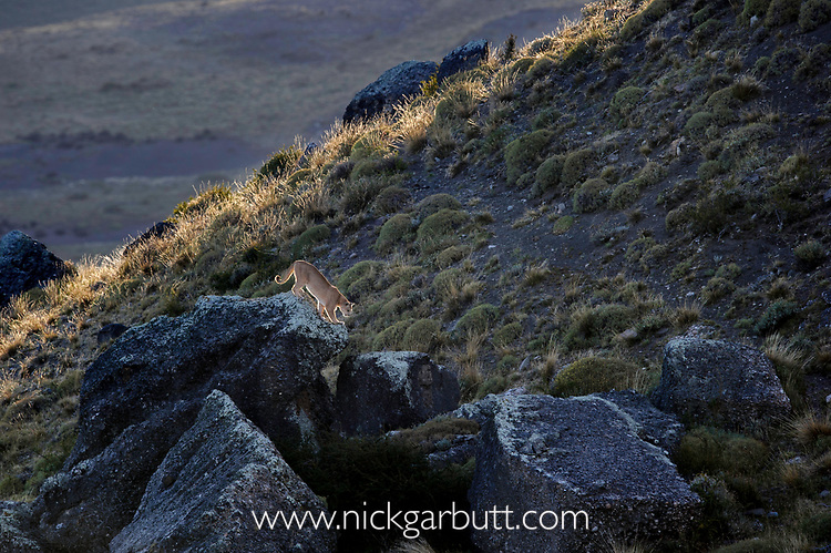 Patagonian puma (Puma concolor patagonica)(female) walking over boulders in beautiful low backlight. Torres del Paine National Park, Chilean Patagonia, Chile. March