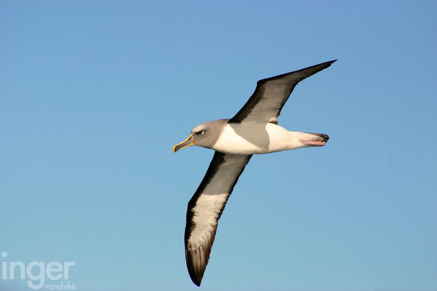 Buller's Albatross in flight off Tasmania