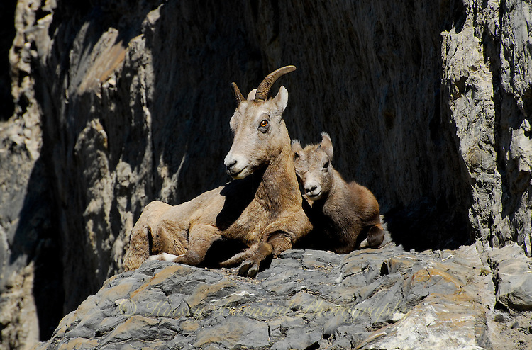 """""""KEEP ME CLOSE""""<br /> <br /> A big horn lamb nuzzles it's mother as they bask in the warm sun high in the rocky cliffs in Jasper"""