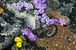 A group of arctic wildflowers bloom amidst lichen covered rocks in the Arctic National Wildlife Refuge.