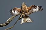 Red kite shows off plumage as it sunbathes by Sonia Hill