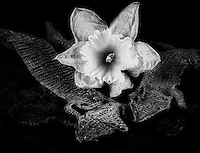 Still life black & white image with lizard skins and withered daffodil.