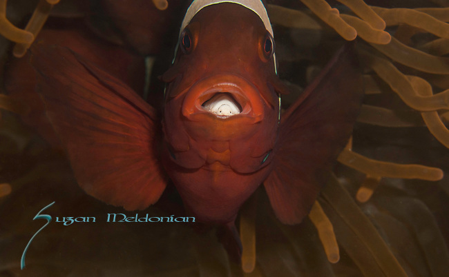 Indonesia, Lembeh, Premnas biaculeatus, Spinecheek Anemonefish, with parasite in the mouth, underwater marine life