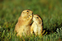 Black-tailed Prairie Dogs .greeting one another.  Montana, USA.  June..Cynomys ludovicianus.