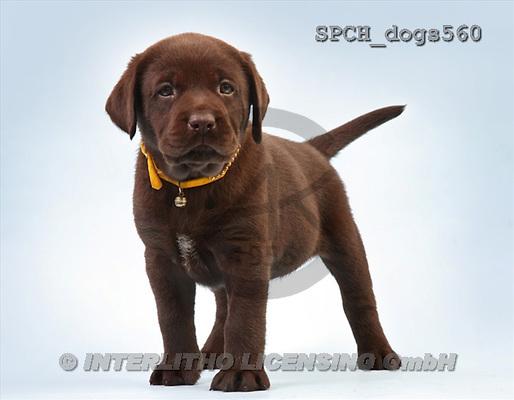 Xavier, ANIMALS, dogs, photos(SPCHdogs560,#A#) Hunde, perros