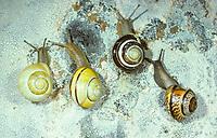 Schnirkelschnecken, verschiedene Arten und Variationen