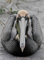 0305-0884  Brown Pelican, Pelecanus occidentalis © David Kuhn/Dwight Kuhn Photography.