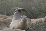 Northern elephant seal, juvenile bull Northern elephant seal bulls