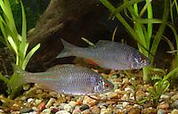 Bitterling, Rhodeus amarus, Rhodeus sericeus amarus, European Bitterling