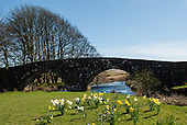 Three Bridges, Devon, England. Ancient bridge over stream with daffodils.
