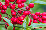 Bright red berries of Heavenly Bamboo in spring.   Heavenly Bamboo, Sacred Bamboo, Nandina, Chinese Sacred Bamboo