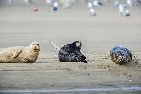Southern Sea Otter (Enhydra lutris nereis) and Harbor Seals (Phoca vitulina) resting on sandy beach.  Central California Coast.