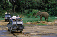 Tourists encounter an AFRICAN ELEPHANT from the safety of their LAND CRUISERS - LAKE MANYARA NATIONAL PARK, TANZANIA