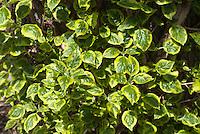 Hydrangea anomala subsp. petiolaris 'Mirranda' variegated climbing hydrangea foliage