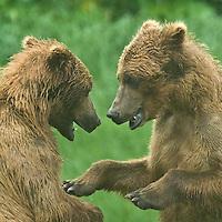 Grizzly Bears Fighting, North American Alaskan Wildlife, Kukak Bay