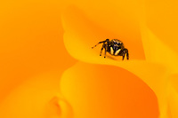 An insect visitor crawling around the petals of a yellow rose stops and stares before continuing its journey.