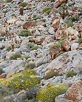 Anza-Borrego Desert State Park: Seven male desert bighorn sheep blend in on a rocky hillside in spring
