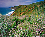 Wild Radish, Raphanus raphanistrum, Tomales Point, Point Reyes National Seashore, California, Marin County, California