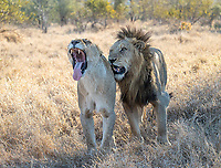 A male lion keeps close to his beau, who woke up from a short nap. They'd do the deed a few moments later, and would repeat every so often throughout the day.