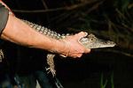 Releasing Crocodile