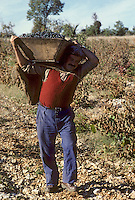 Europe/France/Midi-Pyrénées/46/Lot/Env. d'Esclauzels : Vignoble de Cahors - Porteur de hotte à vendange [Non destiné à un usage publicitaire - Not intended for an advertising use]<br /> PHOTO D'ARCHIVES // ARCHIVAL IMAGES<br /> FRANCE 1980