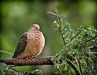 Mourning Dove perched in Hemlock tree with feathers fluffed