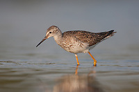 Lesser Yellowlegs (Tringa flavipes), East Pond, Jamaica Bay Wildlife Refuge