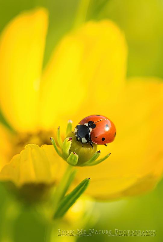 Lady Beetle on Finger Coreopsis wildflower