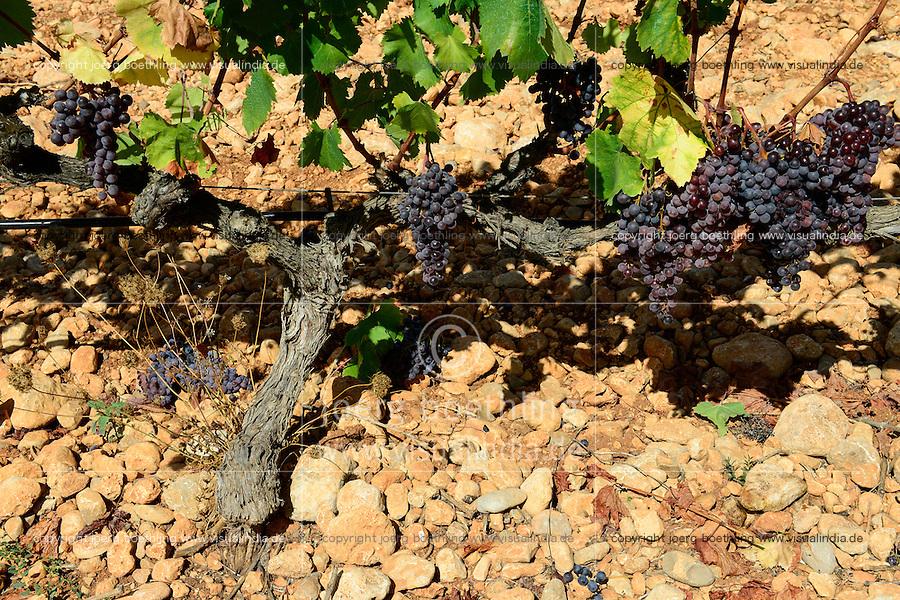 SPAIN Mallorca, Binissalem, Finca Biniagual, wine grape harvest of Manto Negro / SPANIEN Mallorca, , Binissalem, Finca Biniagual, Weinernte der Traubensorte Manto Negro