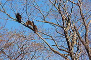 Turkey Vulture - Cathartes aura - in tree in Crawford Notch State in the White Mountains, New Hampshire USA.