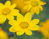Woolly Sunflower (Eriophyllum lanatum)--also called Oregon Sunshine or Woolly Daisy.  Pacific Northwest.