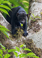 Tayras range in color from brown (including blonde highlights) to black. This was a big male... he looks like a cross between a monkey and a black panther. What a handsome fellow!