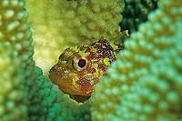 Yellowspotted scorpionfish, Sebastapistes albobrunnea, Amami-ohsima island, Kagoshima, Japan, Pacific Ocean