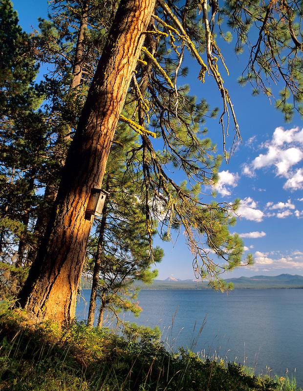 Ponderosa Pine tree with birdhouse on shore of Diamond Lake. Oregon.