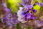 Lobelia, Columbine, and Rhododendron blooms in multiple exposure image with iris background.